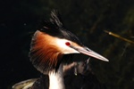 Toppet lappedykker (Podiceps cristatus)